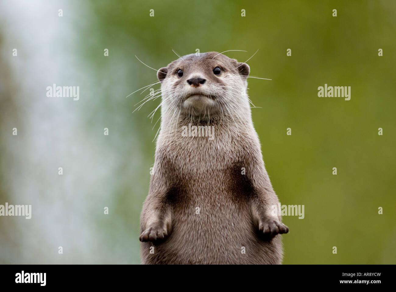 ASIATISCHE SHORT-CLAWED OTTER Amblonyx cinerea Stockbild