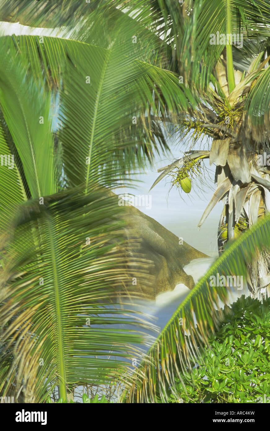 Palmen, Kokosnüsse und Rock, Anse Patates, La Digue Island, Seychellen, Indischer Ozean, Afrika Stockbild