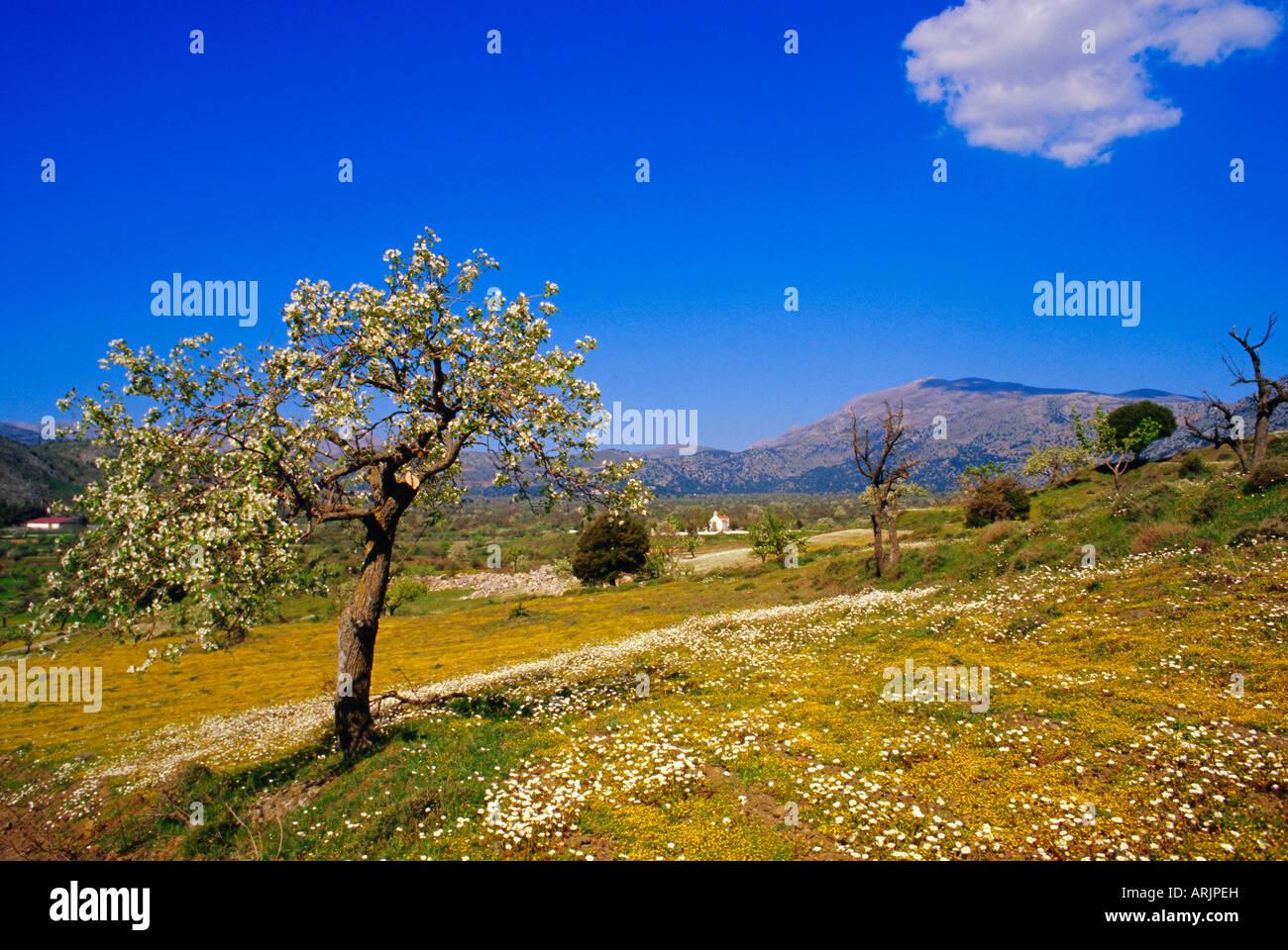 Bäume in Blüte und Frühling Blumen in der Nähe von Messa, Lassithi-Hochebene, Kreta, Griechenland Stockbild