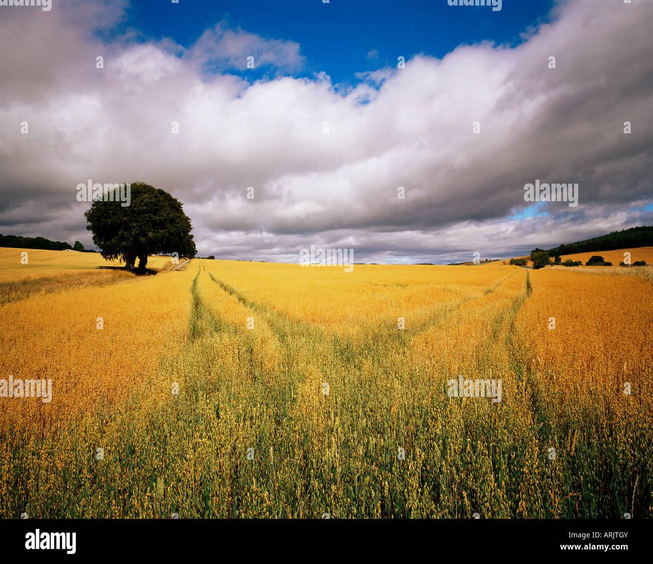 Felder von Getreide, in der Nähe von Avoch, Black Isle, Schottland, Vereinigtes Königreich, Europa Stockbild