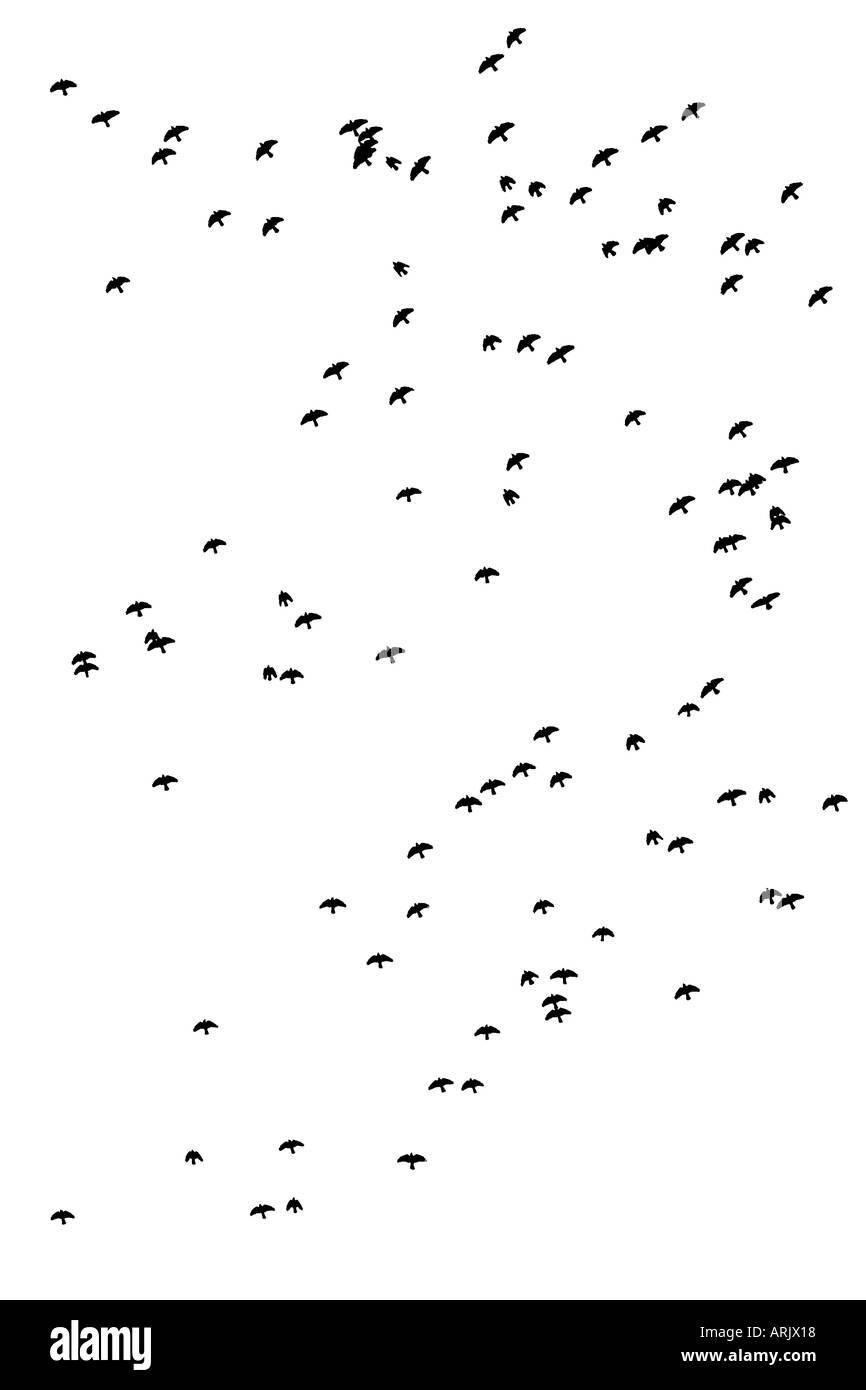 Herde von Krähen fliegen, Finnland Stockbild
