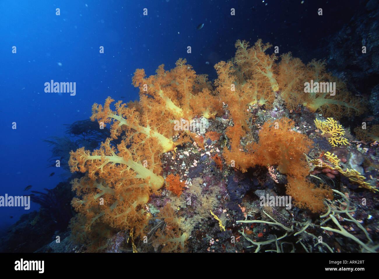 Gelbe Divaricate Baum Koralle Dendronephthya Sp Unterwasser
