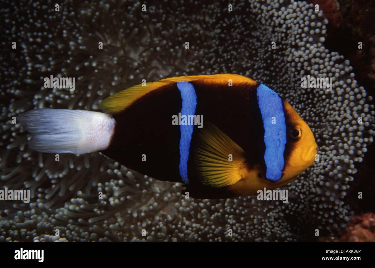 Nahaufnahme Von Einem Orange Fin Clownfische Amphiprion