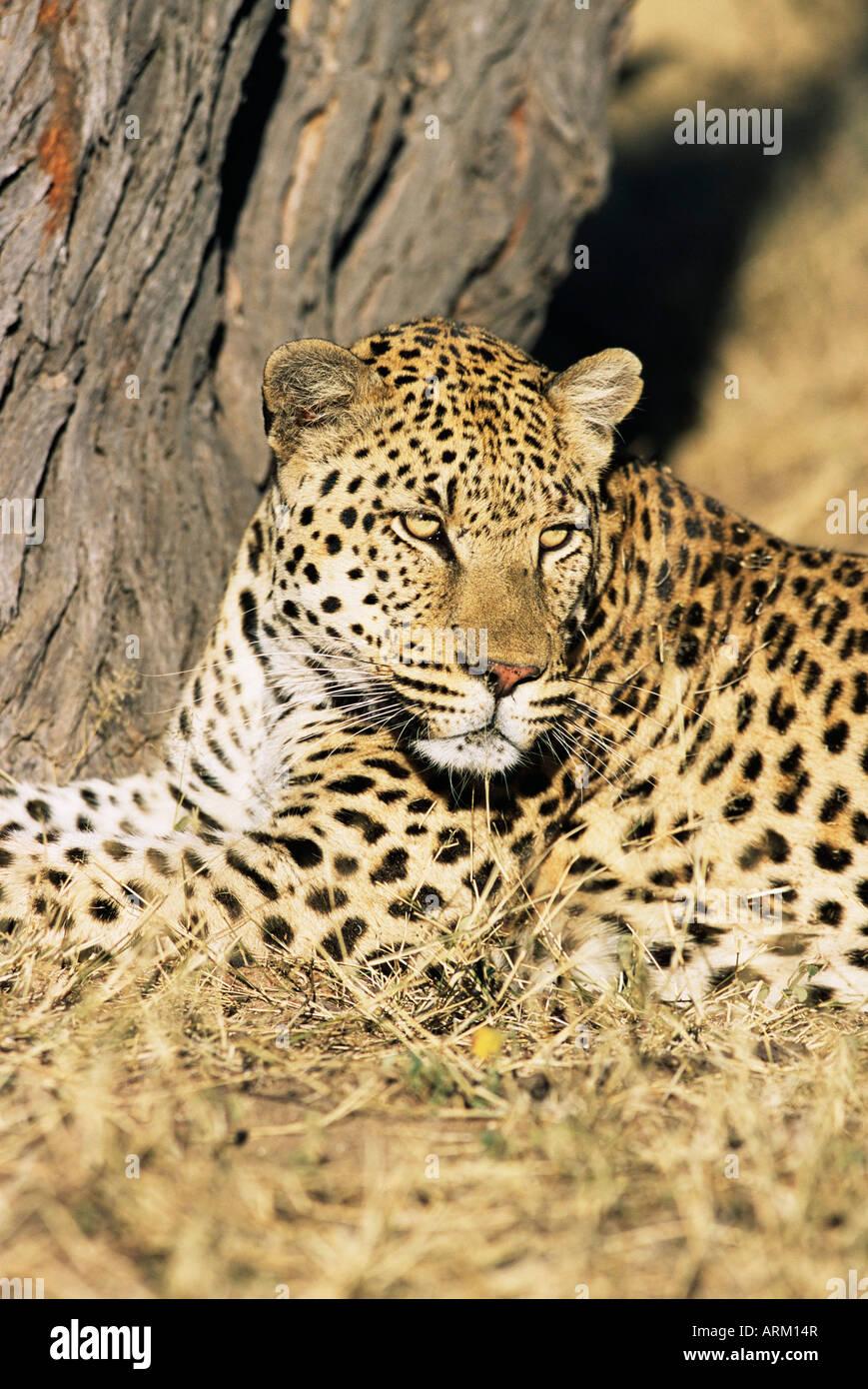 Männliche Leoparden Panthera Pardus, in Gefangenschaft, Namibia, Afrika Stockfoto