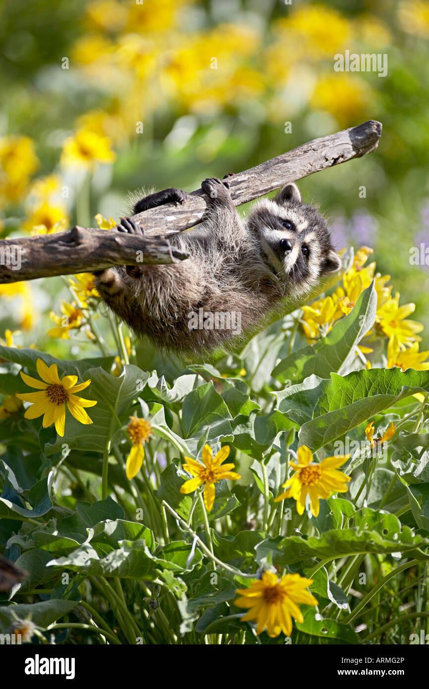 Captive Baby Waschbär hängen an einem Zweig unter Arrowleaf Balsam Wurzel, Bozeman, Montana, USA Stockbild