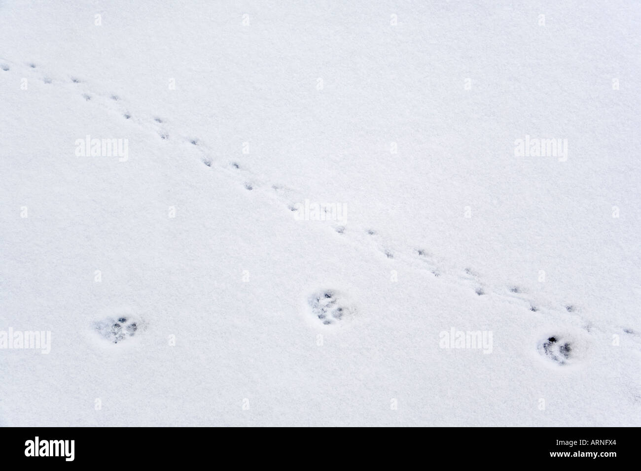 mouse tracks in snow in stockfotos mouse tracks in snow in bilder alamy. Black Bedroom Furniture Sets. Home Design Ideas