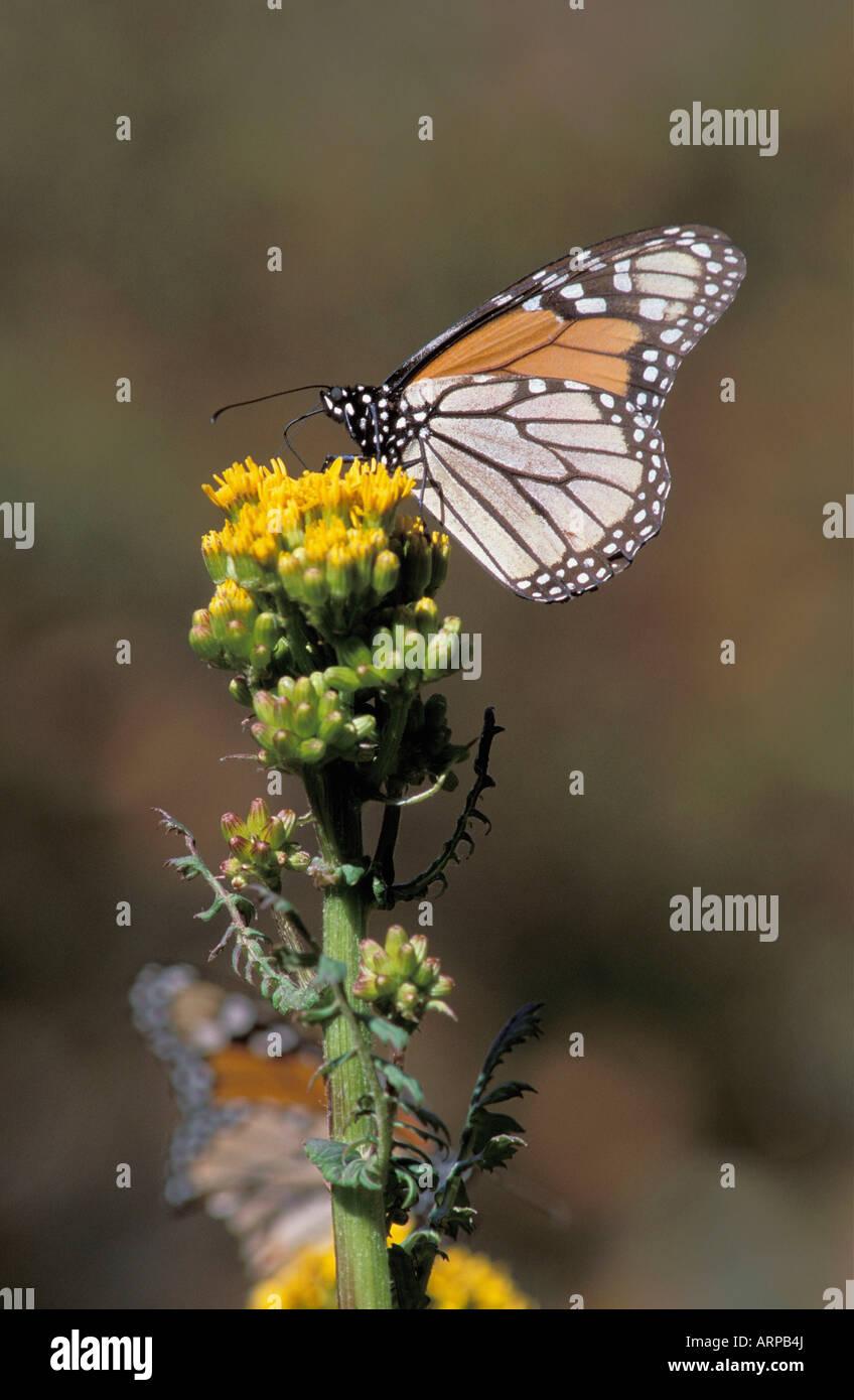 Wunderbar Monarchfalter Farbseiten Bilder - Beispiel Wiederaufnahme ...
