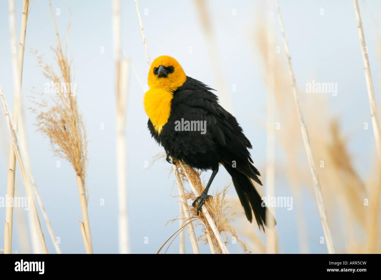Gelbe Leitung Blackbird Stockbild