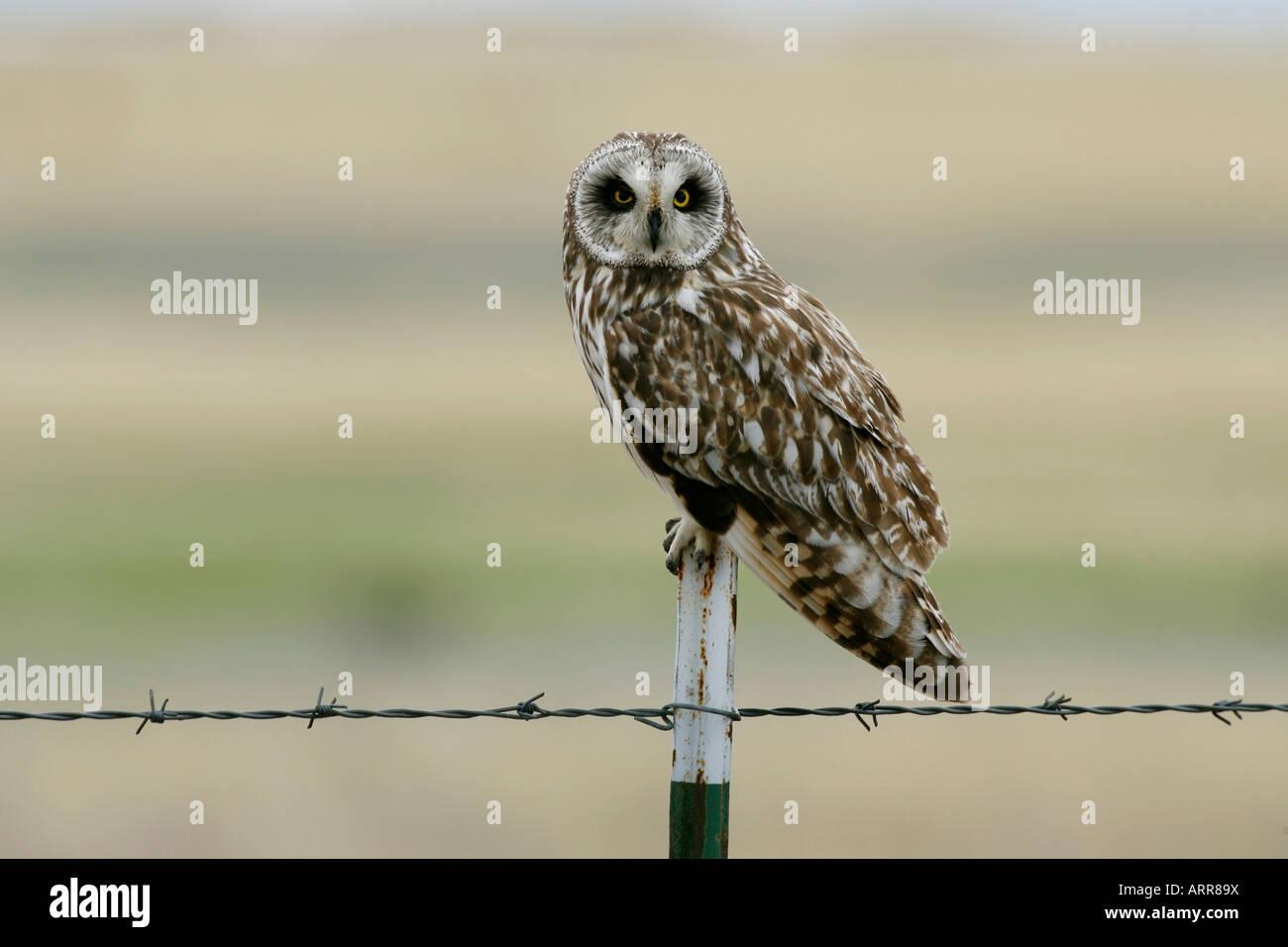 Kurze eared Owl Stockbild