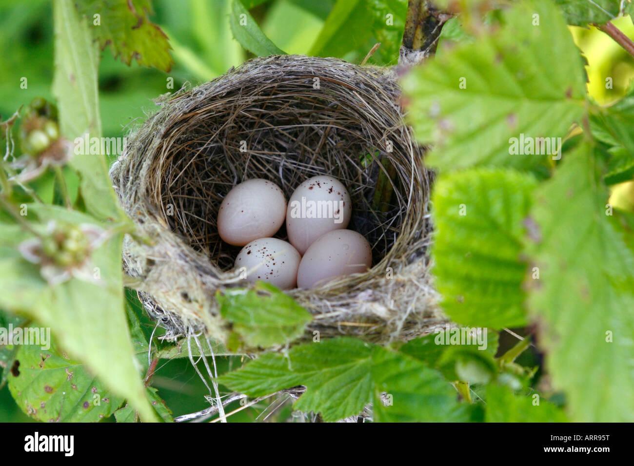 Willow Flycatcher Nest Stockbild