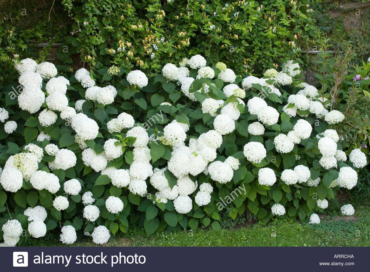 Hortensie Annabell hortensie annabelle incrediball hydrangea ustrong annabelleu