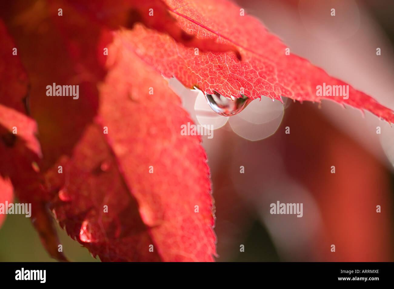 Wassertropfen auf einem Ahornblatt Stockbild