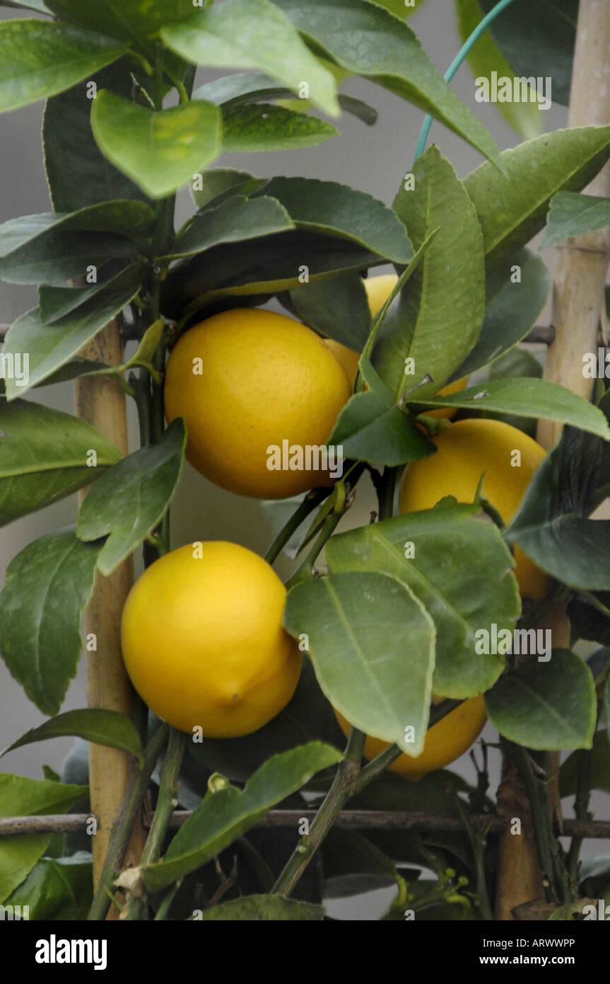 Zitronenbaum mit Zitronen Stockbild