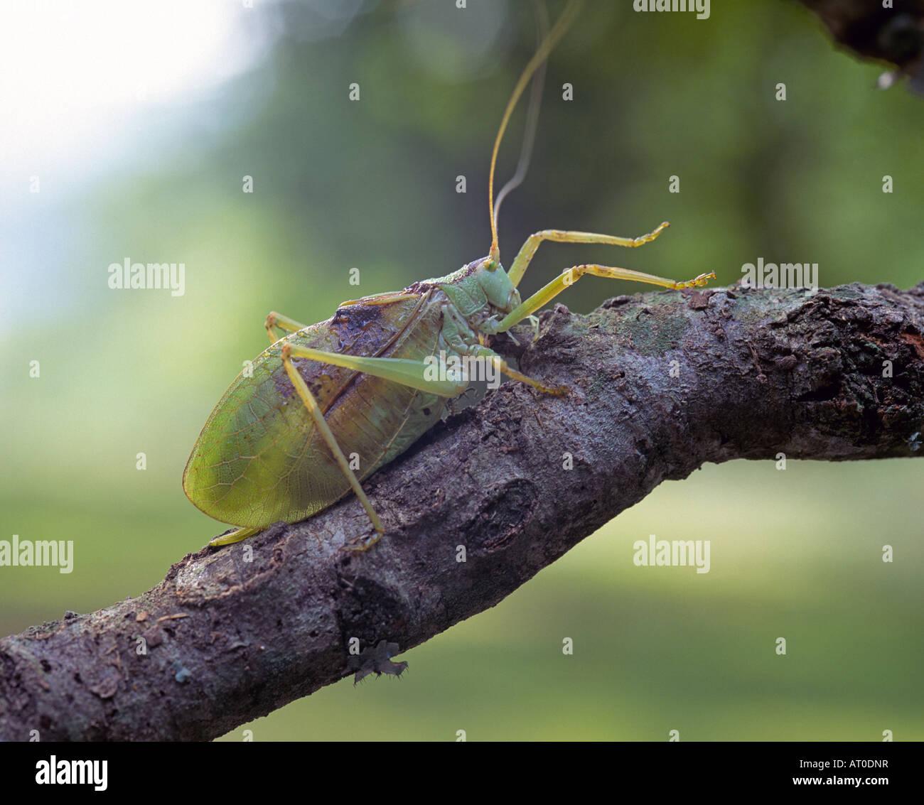 Grashuepfer aus der Familie der Insekten Tettigoniidae sie nennt man Bush Grillen in Europa Stockbild