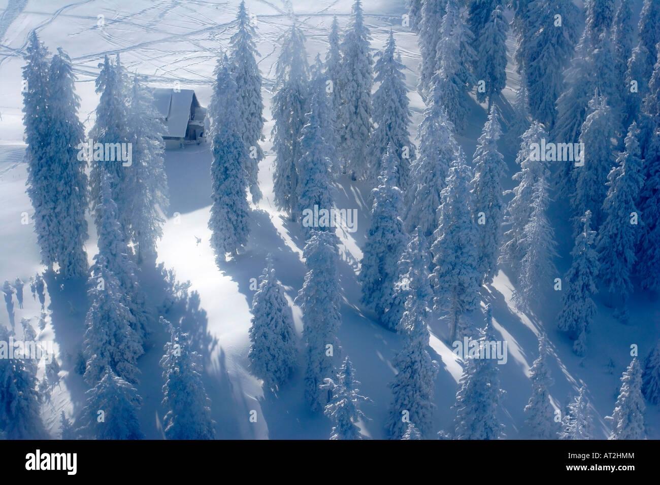 Kiefern, die mit Schnee bedeckt Stockbild