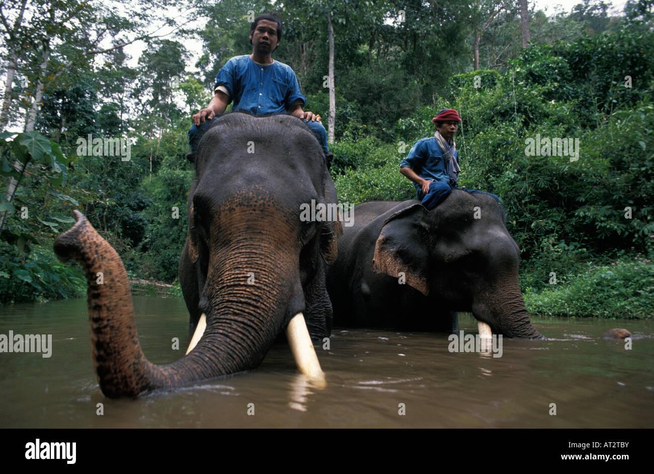 Elefant Indien Asiatischer Elefant indisch Elehant Asiatischer Elefant Elephas Maximus Tiere Asien Asien Gefangenen Stockbild