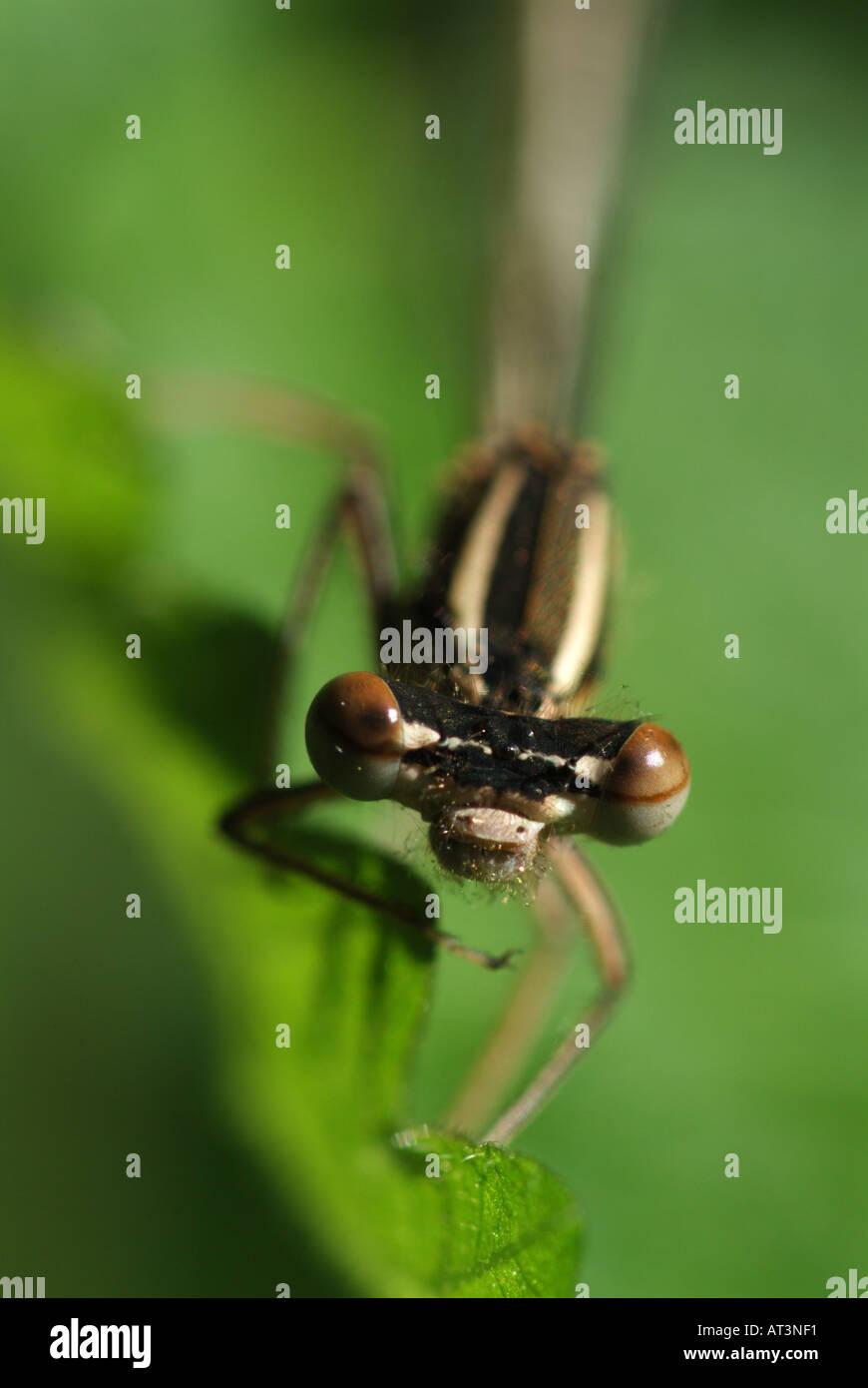 Frontale Nahaufnahme von einem weiß-legged Damselfly (Platycnemis Pennipes). Stockbild