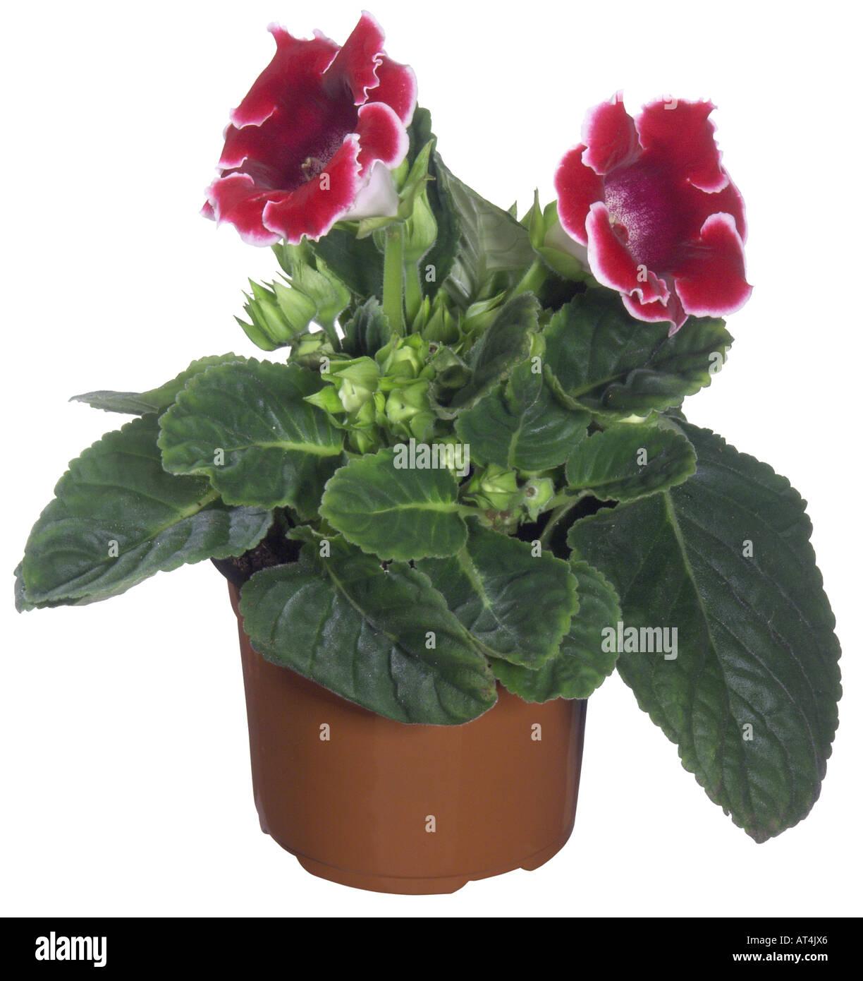 Sinningia Speciosa Hybrid (Sinningia Speciosa Hybride), Topfpflanzen  Pflanzen, Blumen Rot Mit Weißem Rand