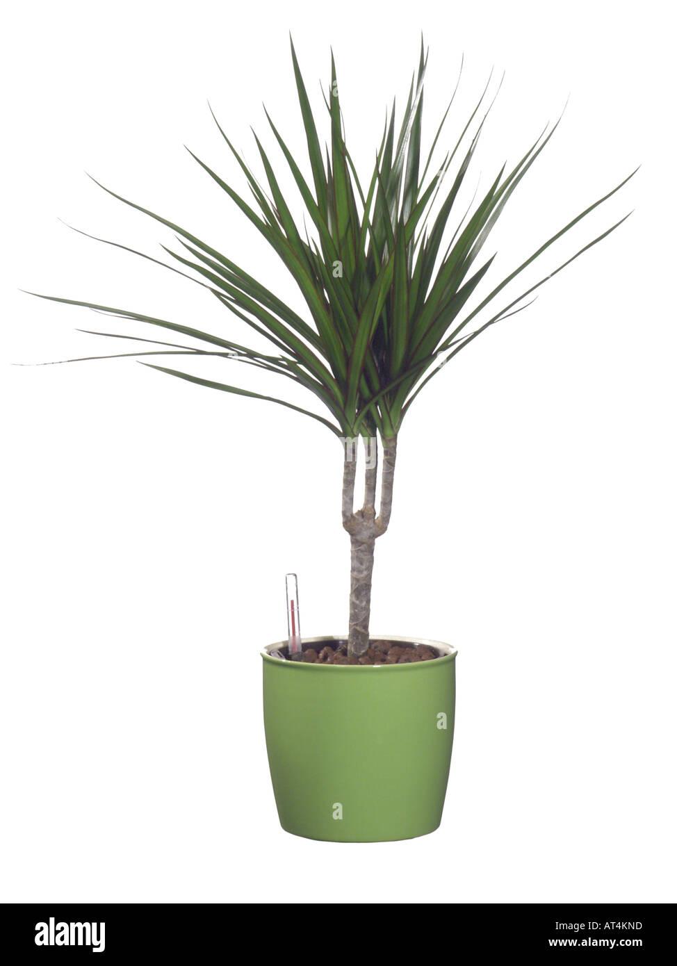 Atemberaubend Drachenbaum (Dracaena Marginata), Hydrokultur Pflanzen Stockfoto &WM_59