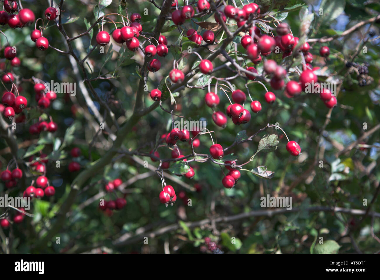 rote beeren auf wei dorn baum im englischen hecke stockfoto bild 9261902 alamy. Black Bedroom Furniture Sets. Home Design Ideas