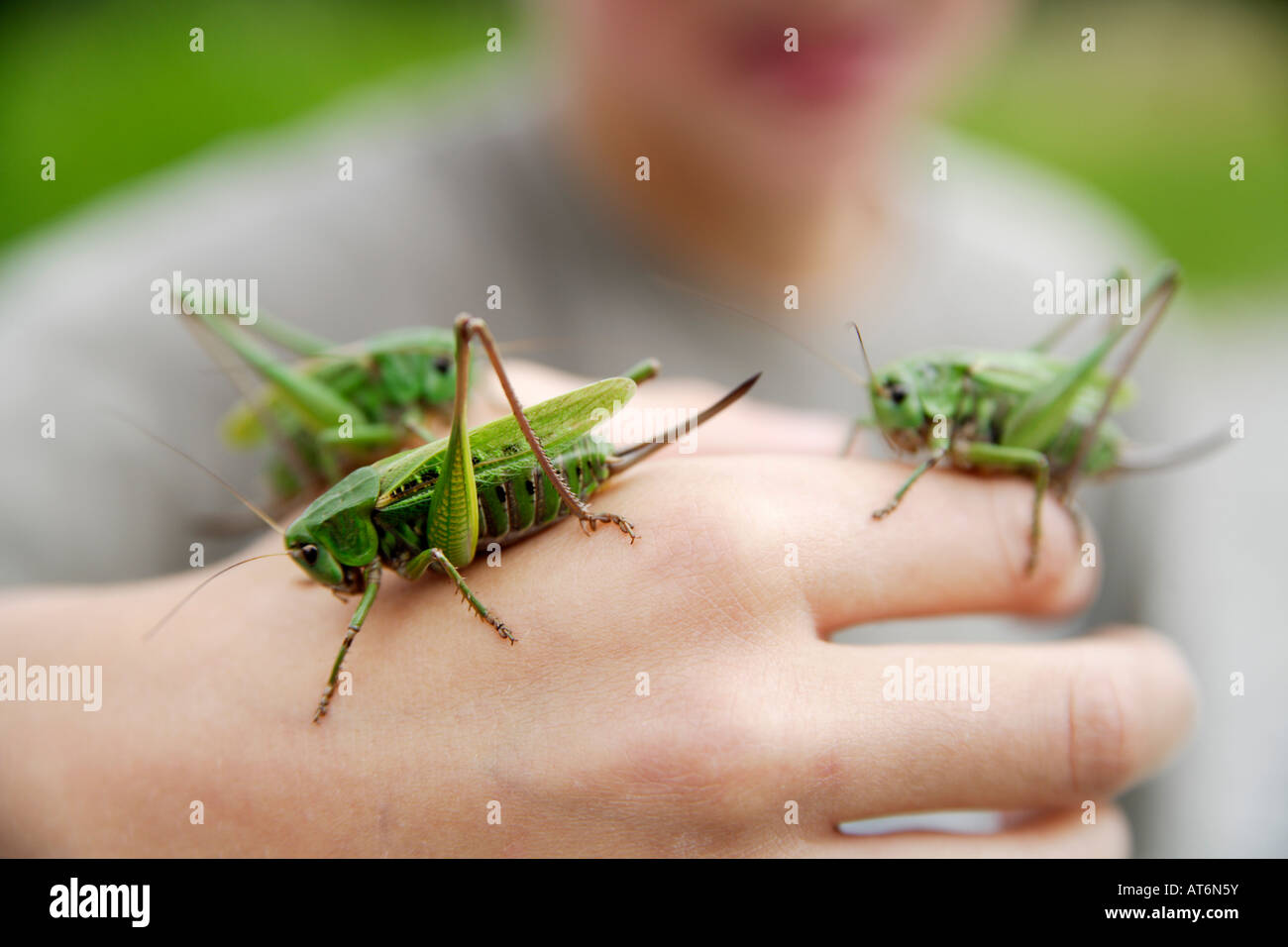 Junge hält lange ? gehörnte Grasshopper, close-up von hand Stockbild