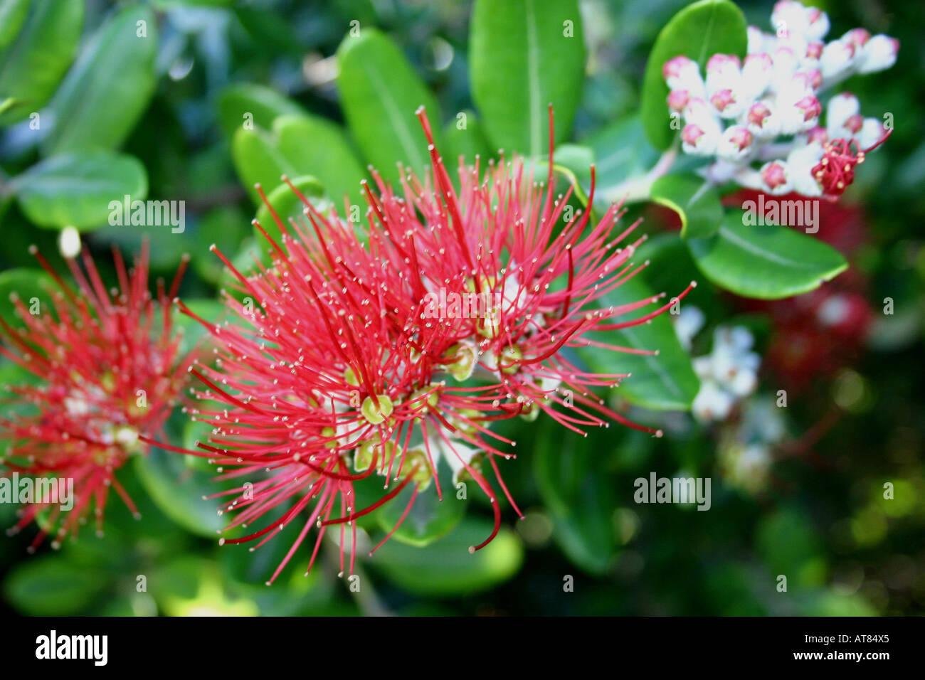 Wunderbar Welche Blumen Blühen Im März Referenz Von Diese Pohutukawa-blumen Blühen März Und April Auf