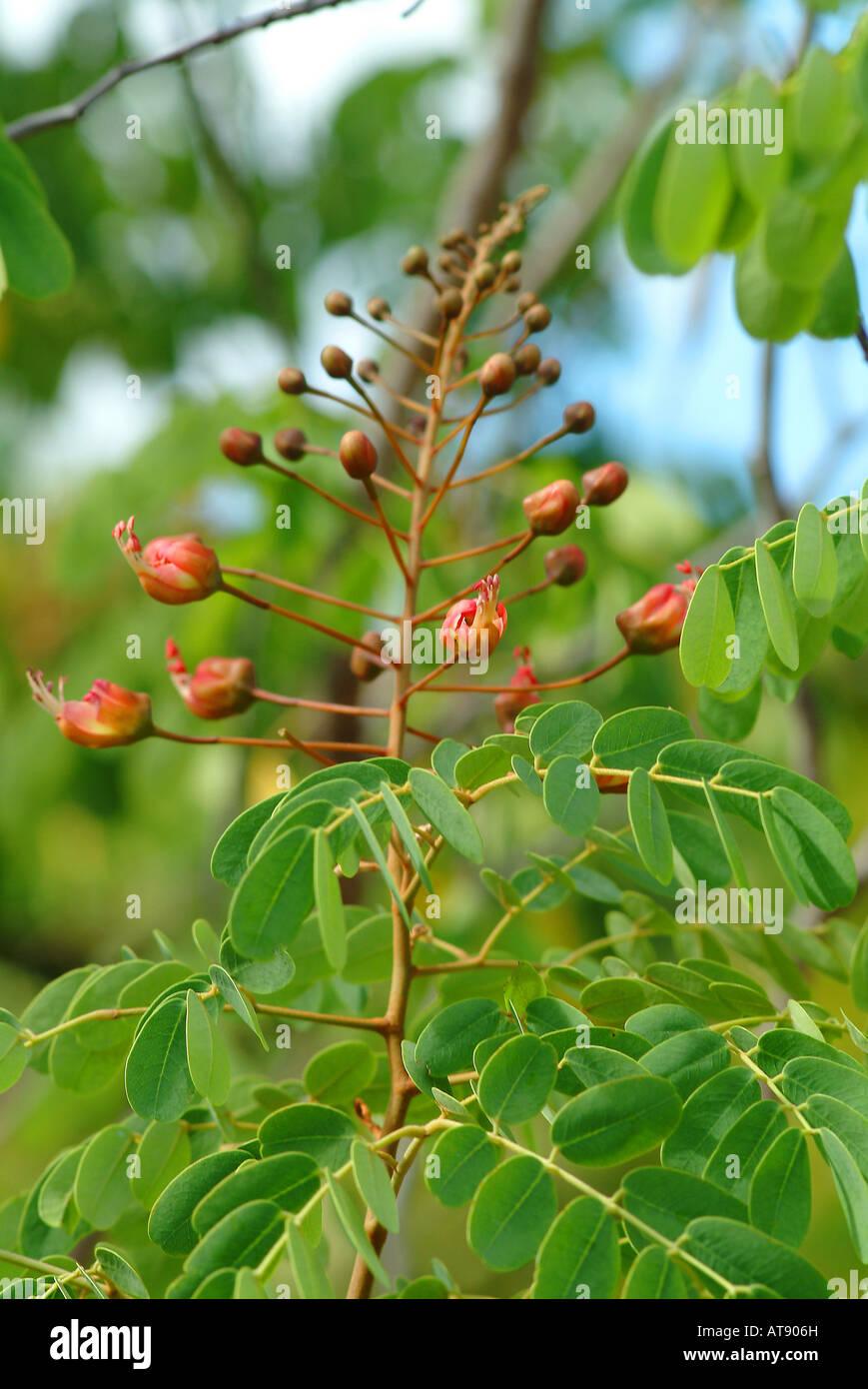 Endemische und gefährdete Pflanzen, Uhiuhi (Fabaceae: †Caesalpinia Kavaiensis) am Stadtgarten in Pearl City, Oahu Stockfoto