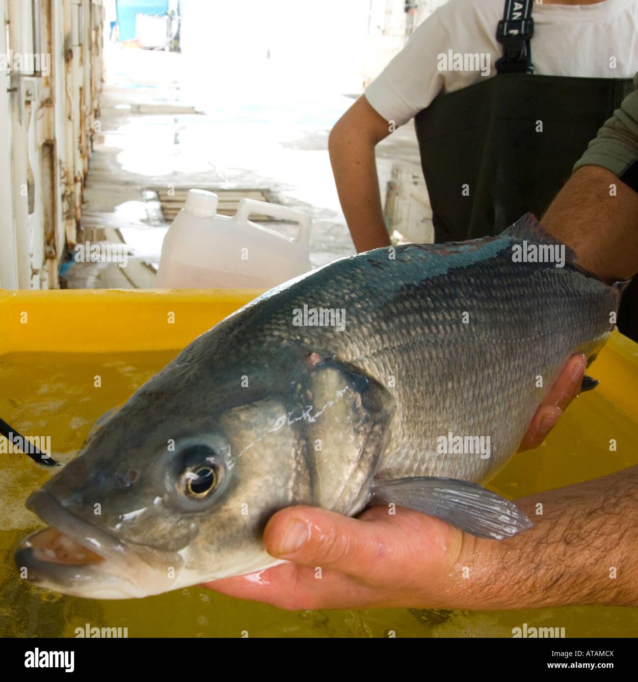 Israel Kibbuz Maagan Mikhael Fischfarm Aufgaben täglich Wolfsbarsch ...
