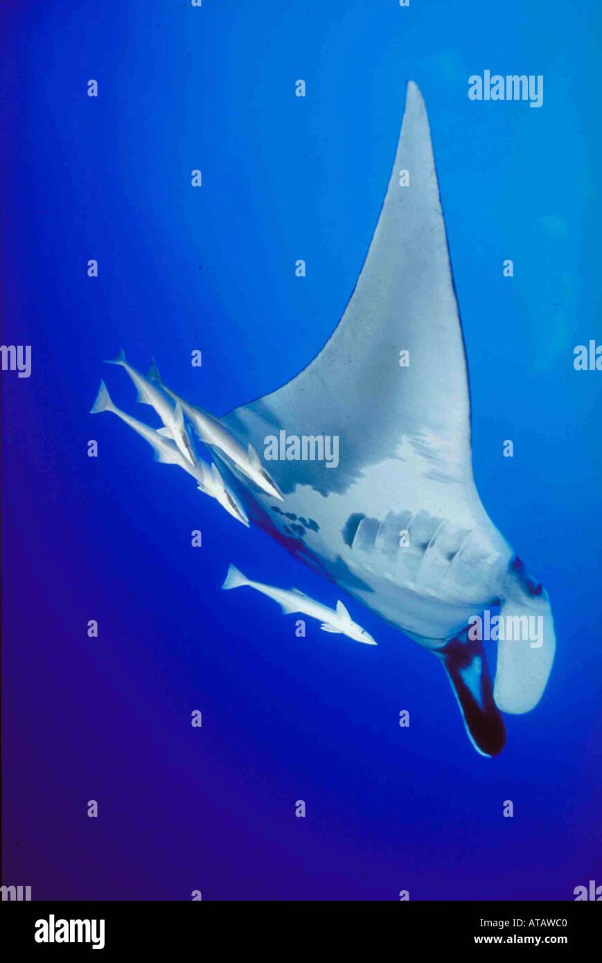 Manta Mantarochen Mit Schiffshaltern Begleiterfische Manta mit Remorais Rotes Meer Ägypten Rotes Meer Aegypten Stockfoto