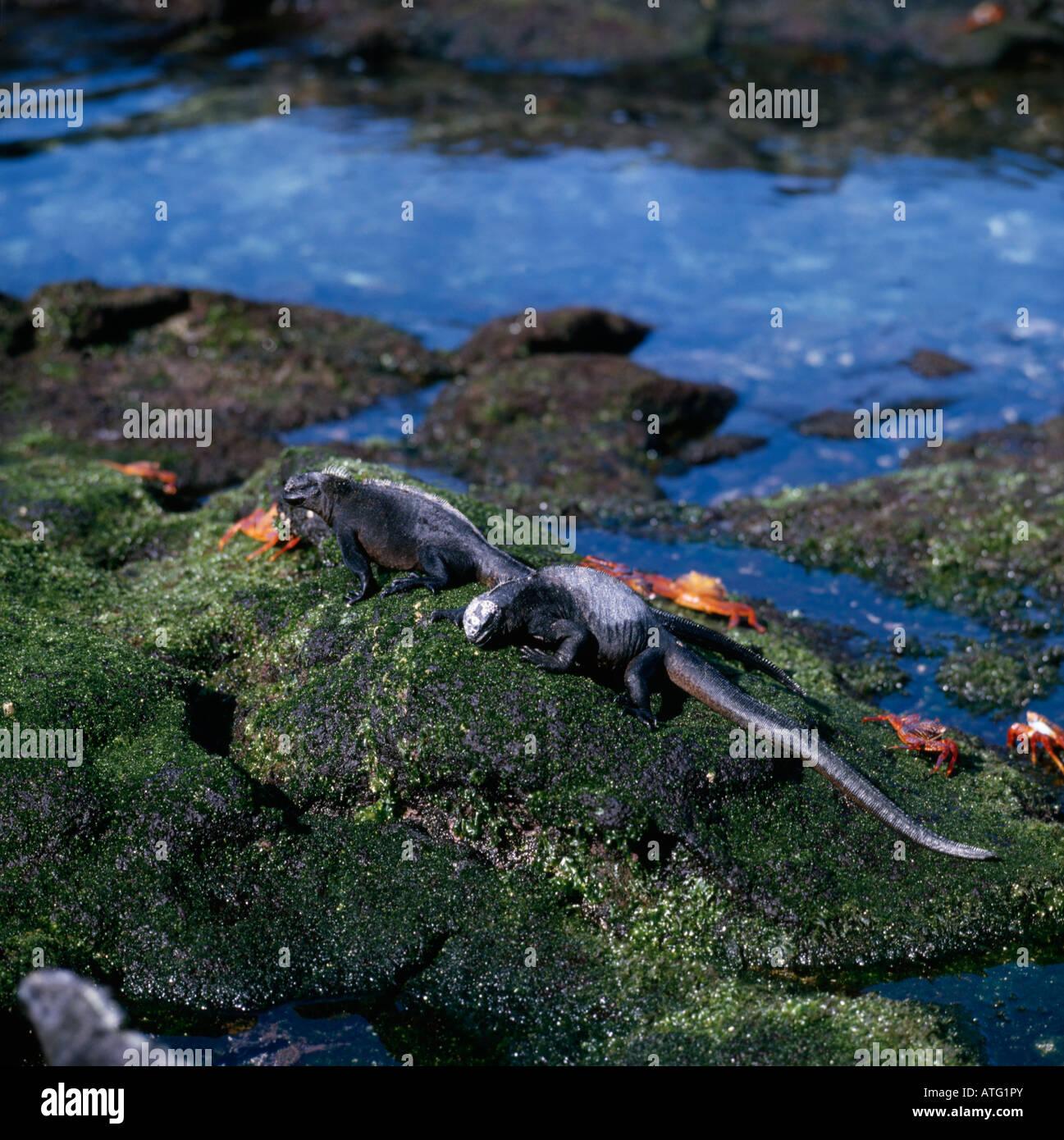beschaulicher Marins Meerechsen marinen Leguane Amblyrhinchus Cristatus Sonnenbaden Galapagos Tiere porträtiert Stockbild