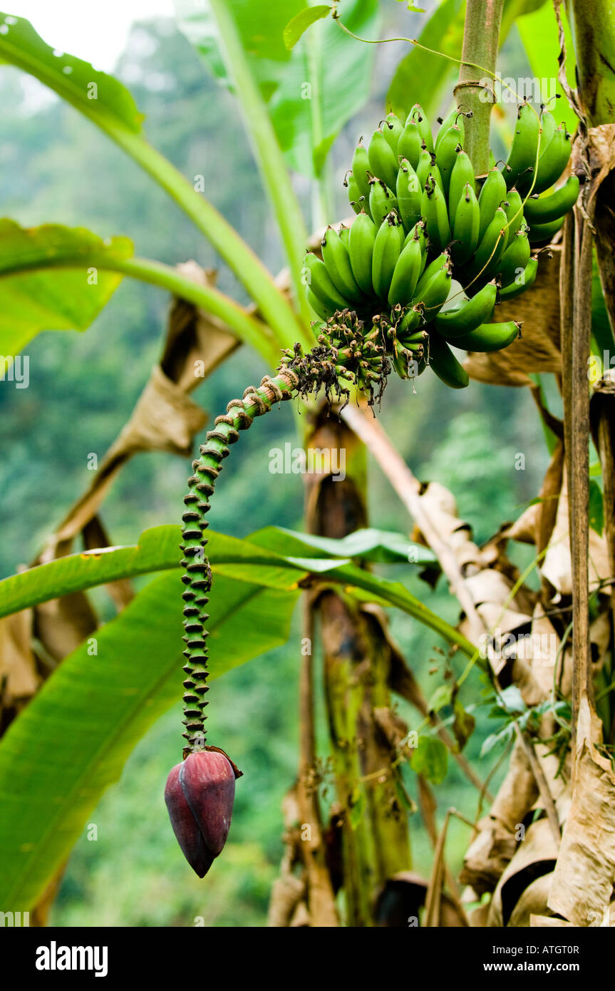 Lila-banane
