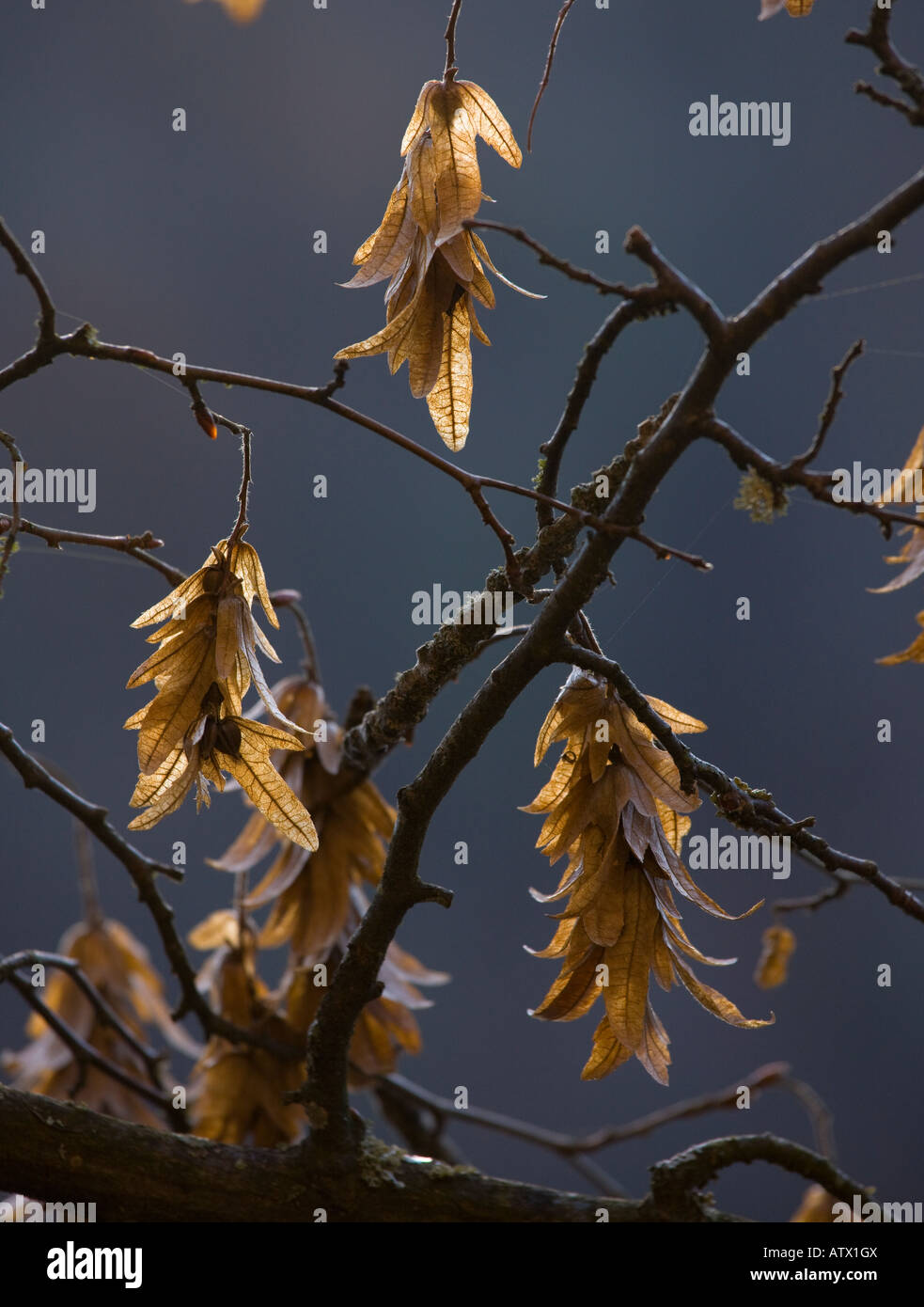 carpinus betulus stockfotos carpinus betulus bilder alamy. Black Bedroom Furniture Sets. Home Design Ideas