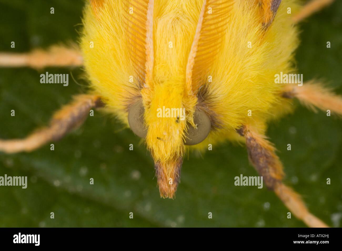 Kanarischen geschultert Thorn Motte (Ennomos Alniaria) hautnah, Dorset, England, UK Stockbild