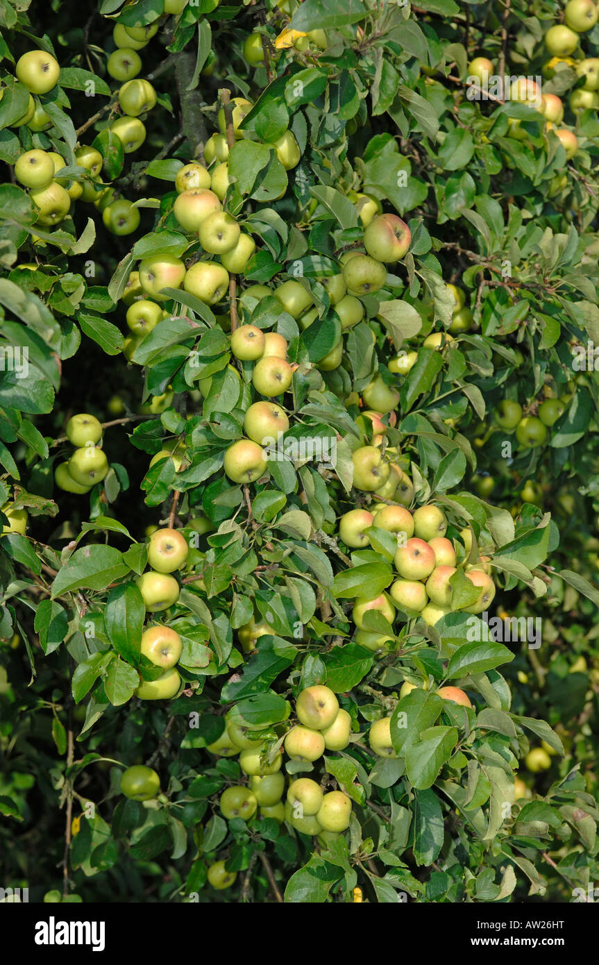 Holzapfel (Malus Sylvestris), Zweige mit Äpfel an einem Baum Stockbild