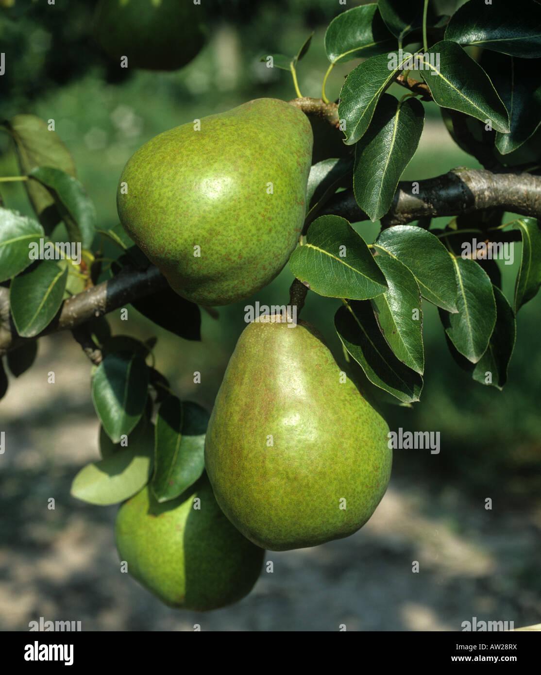 Reife Doyenne du Comice Birnenfrucht am Baum, Oxfordshire Stockbild