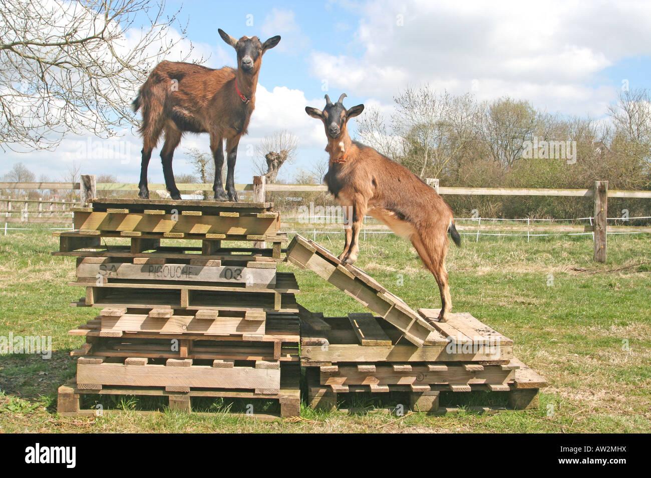 Klettergerüst Ziegen : 2 haustier ziegen auf ihre klettergerüst mit neugier stockfoto