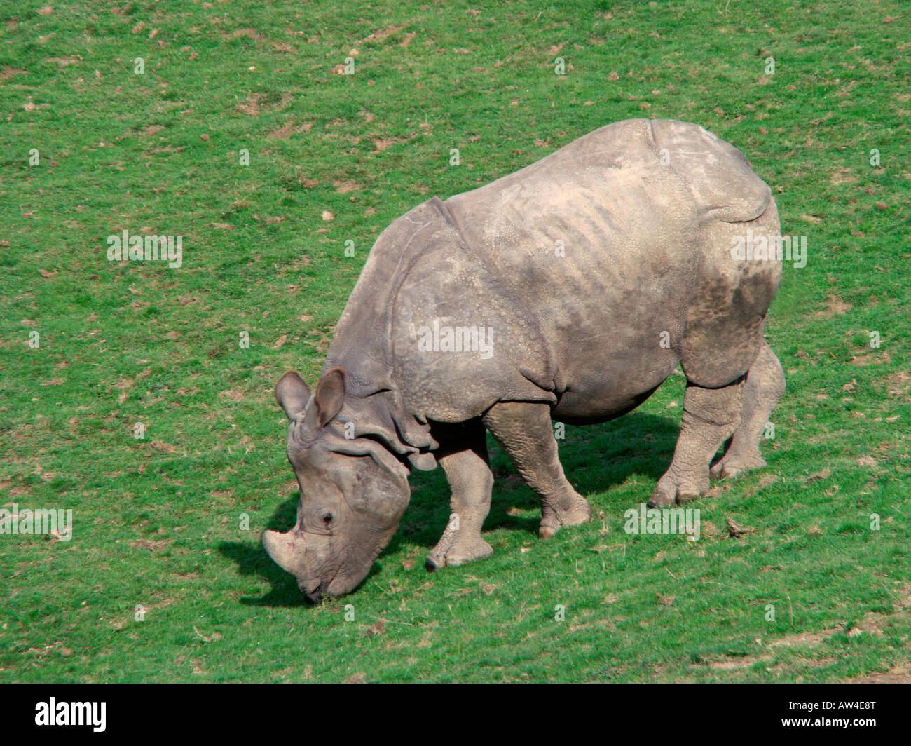Rhino Indien größere Panzernashorn große indische einen gehörnten Nashorn Rhinoceros Unicornis Stockbild