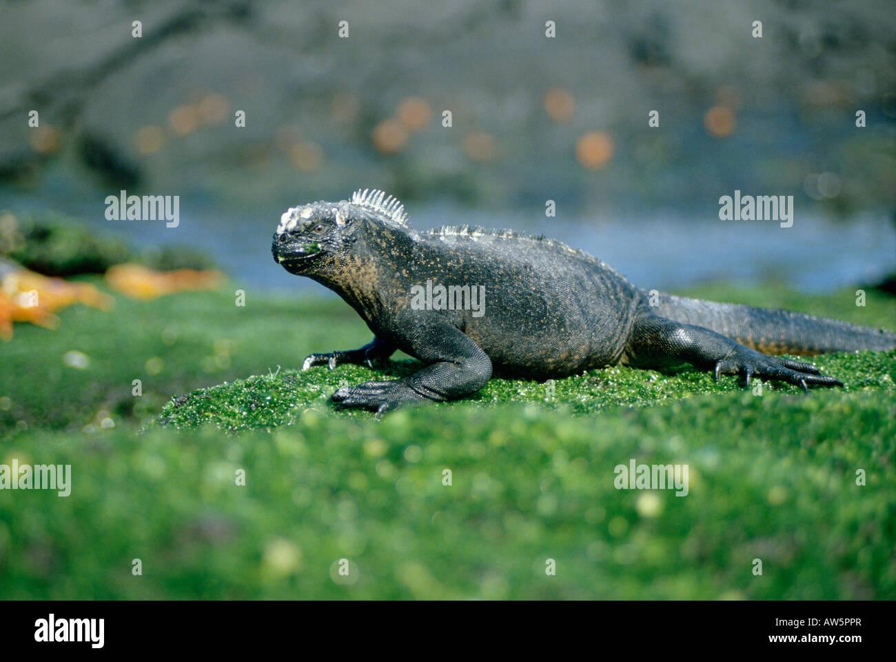 beschaulicher Marin Meerechse Marine Iguana Amblyrhynchus Cristatus Tiere porträtiert endemisch Endemisch Galapagos Stockbild