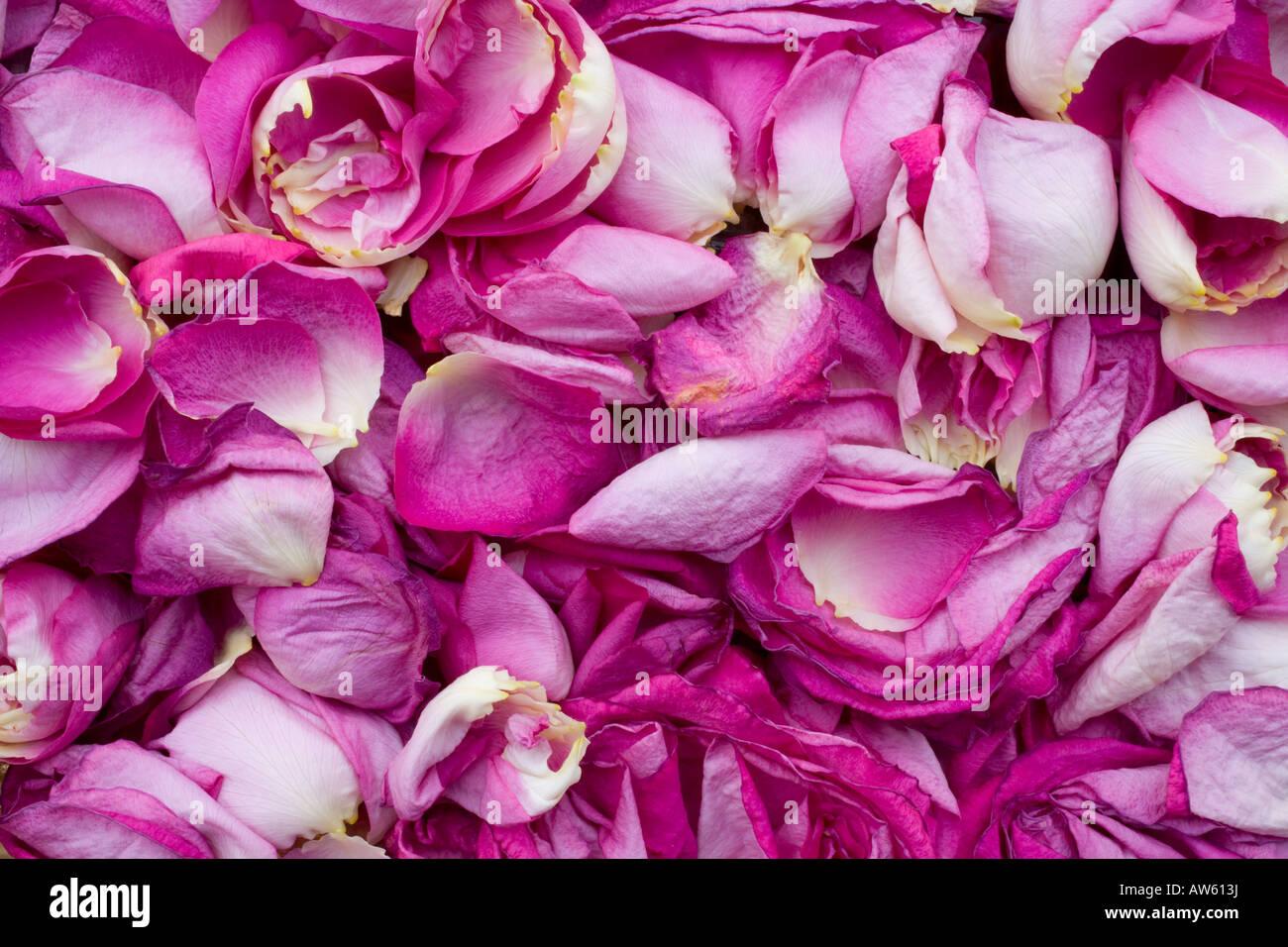 Rosenblüten Stockbild