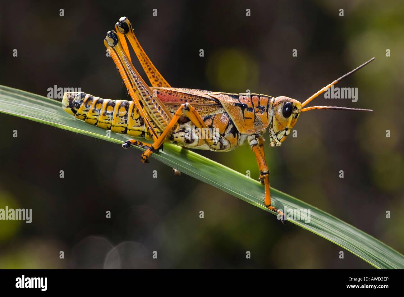 Ebenen Lümmel Grasshopper (Brachystola Magna), Anhinga Trail, Everglades-Nationalpark, Florida, USA, Nordamerika Stockbild