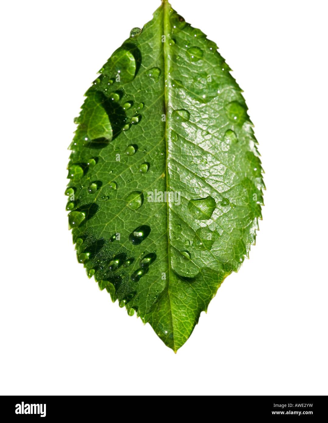 klarem Wassertropfen auf einem zarten grünen Blatt Stockbild