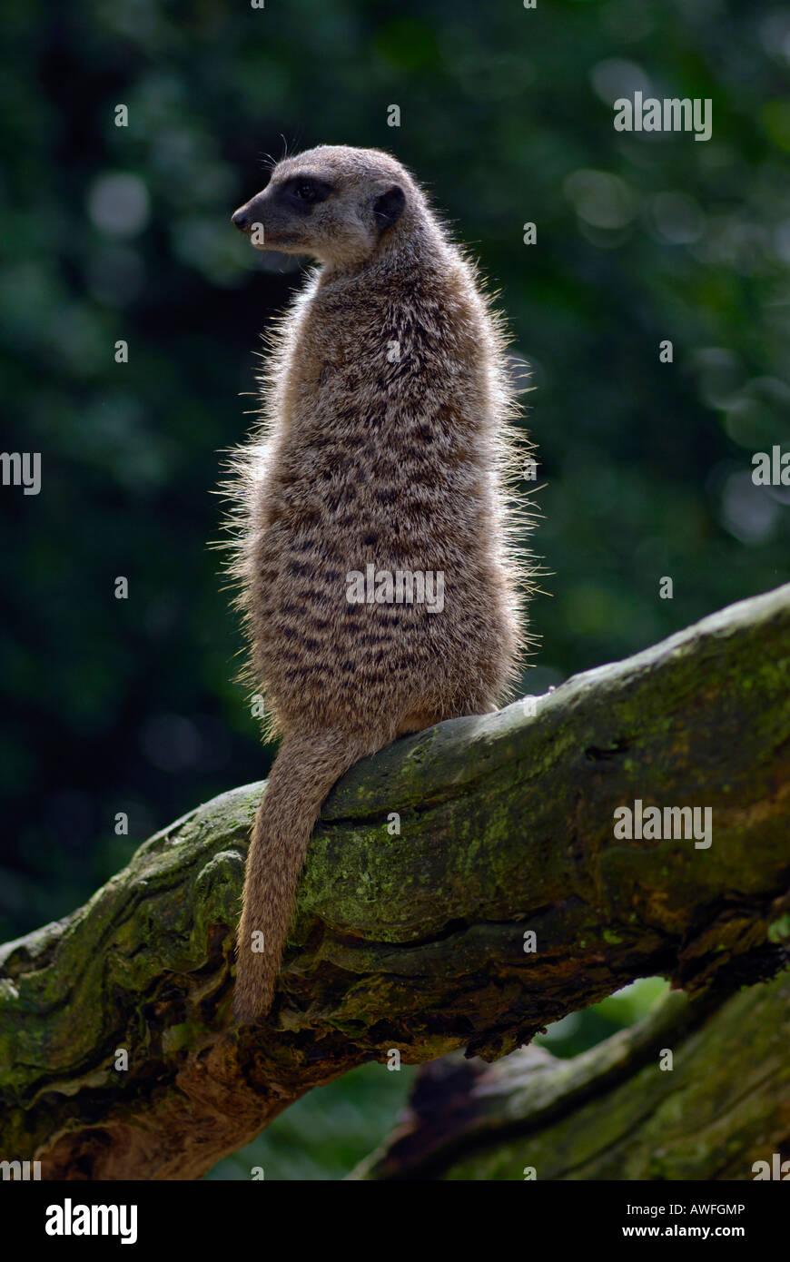 Erdmännchen oder Suricate (Suricata Suricatta) auf einem Ast, Hintergrundbeleuchtung Stockbild