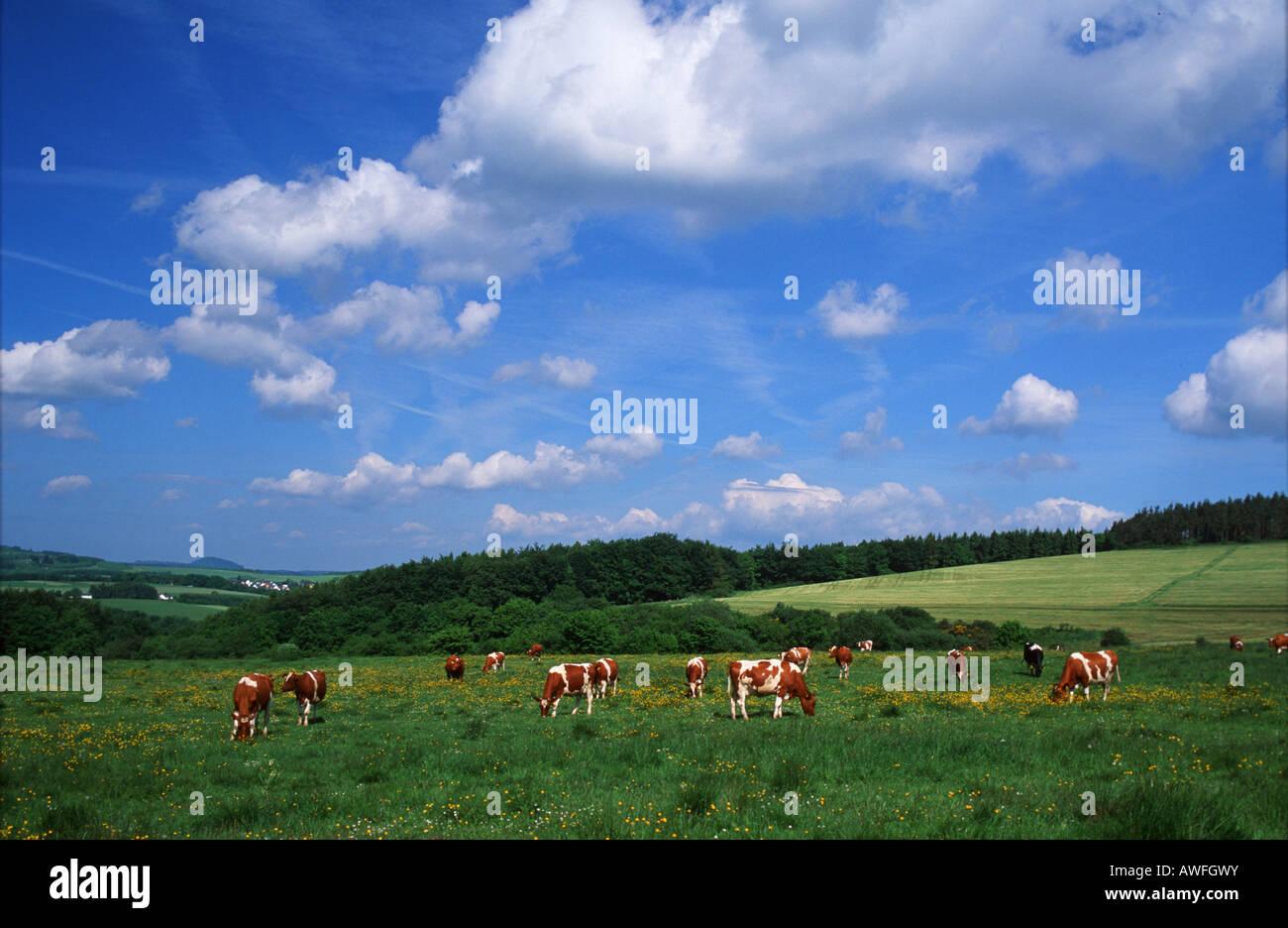 Rinderherde auf einer Weide, Eifel, Deutschland, Europa Stockbild