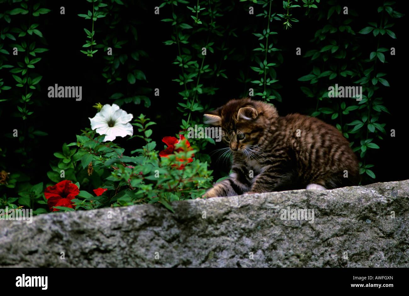 Tabby Kätzchen spielen auf einer Wand Stockbild