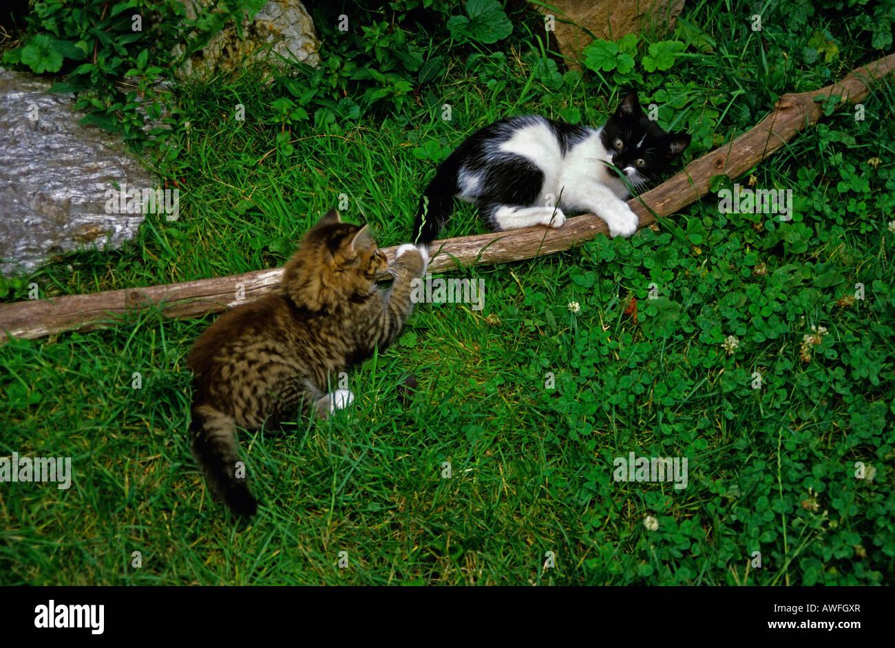 Zwei Kätzchen spielen Stockbild