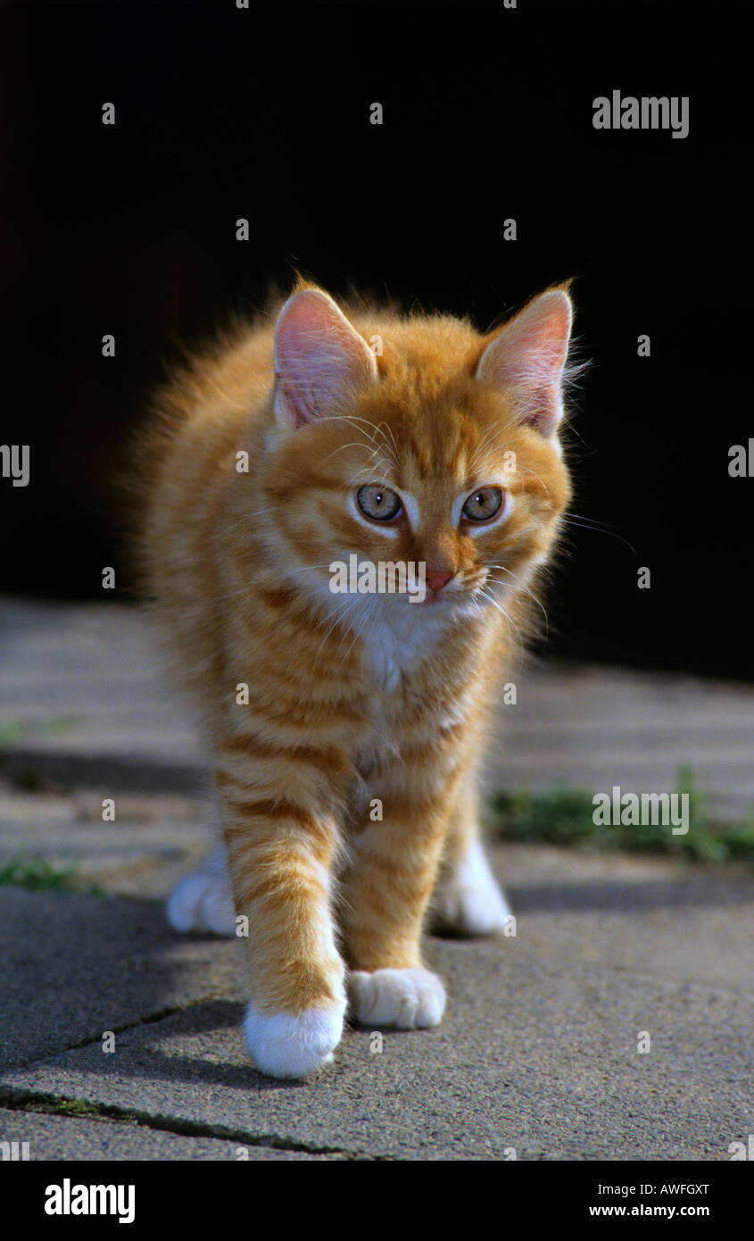 Orange Tabby kitten Stockbild