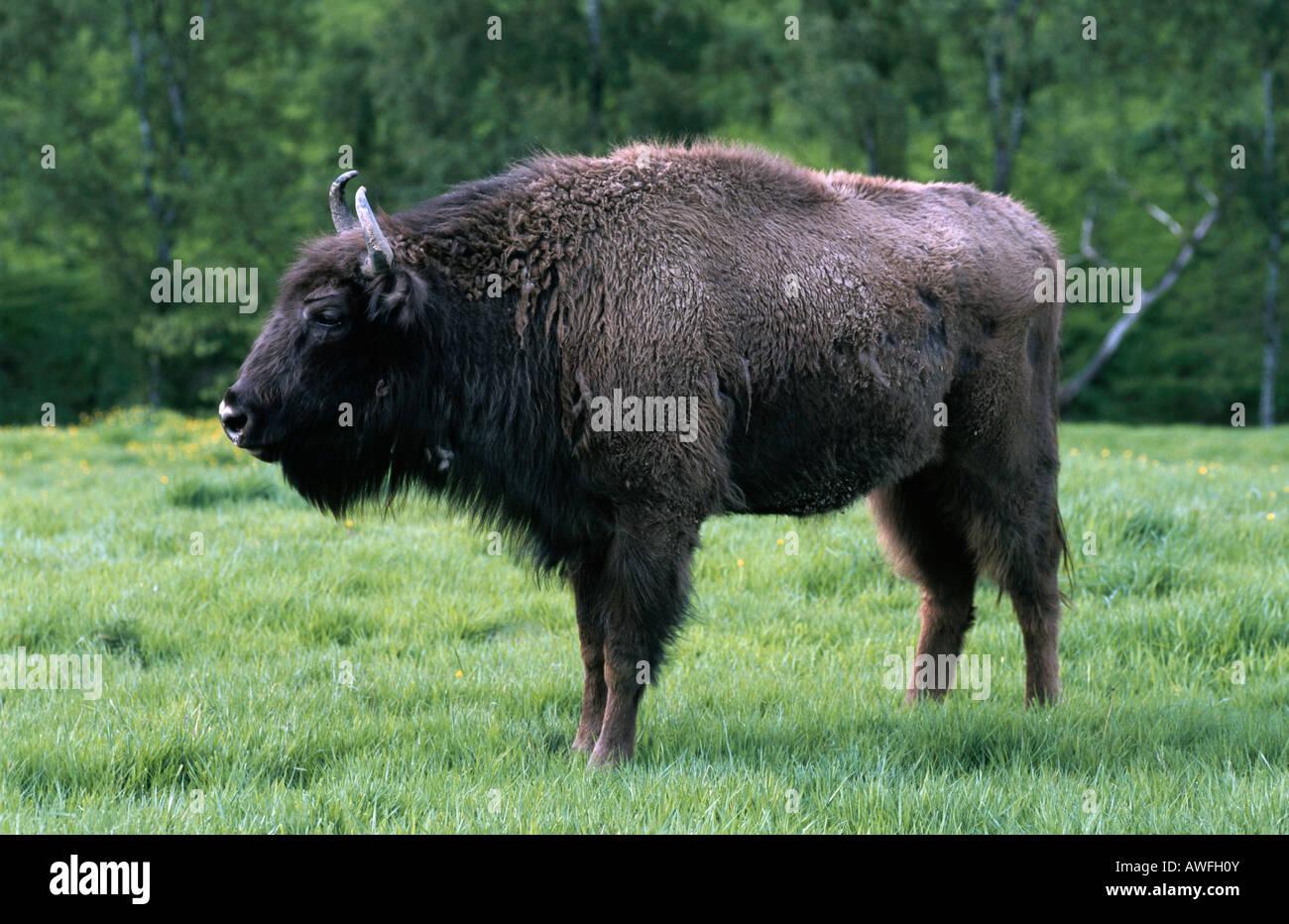 Wisent oder Europäische Bison (Bison Bonasus) Stockbild