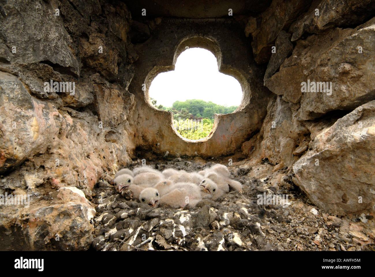 Nest voller Junge Turmfalken (Falco Tinnunculus) Stockfoto