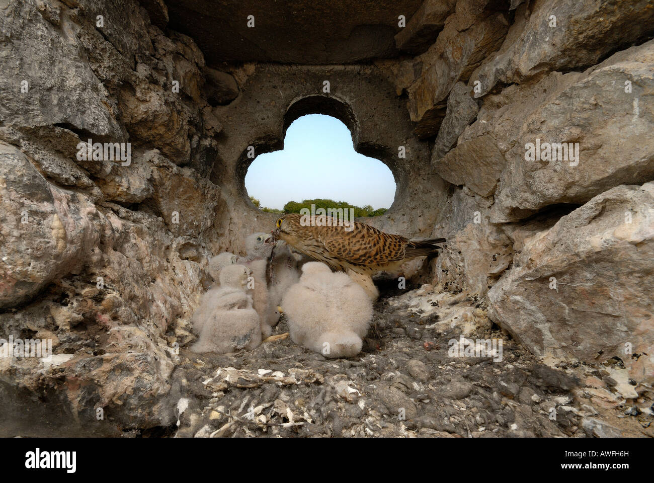 Gemeinsam- oder europäische Turmfalke (Falco Tinnunculus) jungen in ihrem Nest füttert Stockbild