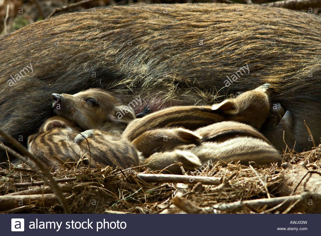 Wildschwein (Sus Scrofa) mit Neugeborenen Ferkel im britischen Woodland Stockbild